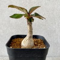 139、Euphorbia ramena