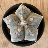 69、Astrophytum 亀甲ストロンギロゴナム