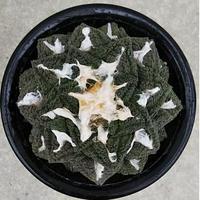 45、Ariocarpus ゴジラ(実)