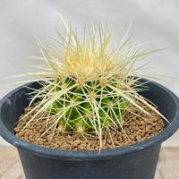 84、Echinocactus 早咲強刺金鯱