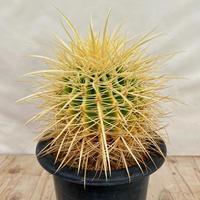 7、Echinocactus 長強刺金鯱