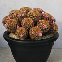 21、Mammillaria 赤刺カルメナエ