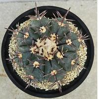 66、Echinocactus 太短刺雷帝(実)