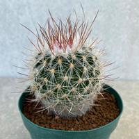 137、Echinofossulocactus zacatecasensis(実生)