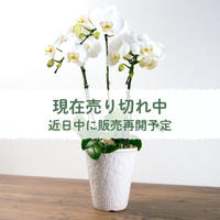 【愛知県安城市産】胡蝶蘭 3本立【ギフト品】