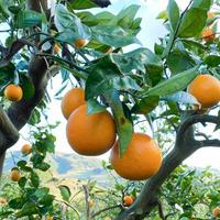 バレンシアオレンジ(生果)3kg