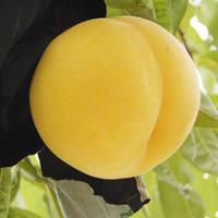 【期間限定】黄金桃 2kg(5~8玉)