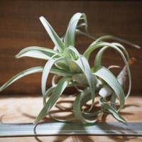 チランジア / ロゼオスカパ S (T.roseoscapa) *A01/Aug08