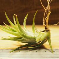 チランジア / イオナンタ ヴァンハイニンギー S (T.ionantha var. vanhyningii) *A02/J03