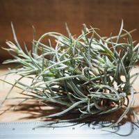 チランジア / クロカータ トリスティス (T.crocata var. tristis) *A01/Jan14