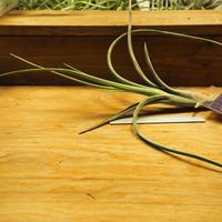 チランジア / インターメディア ラージフォーム (T.intermedia 'Large form') *A02/Se29