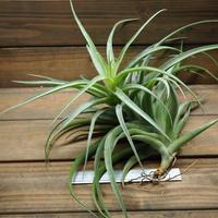 チランジア / ラティフォリア XLサイズ (T.latifolia  var. major) ※蕾付き