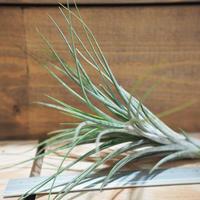 チランジア / イオナンタ × シーディアナ (T.ionantha × T.schiedeana) *A01/Sep22