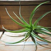 チランジア / ブラキカウロス ジャイアントグリーン (T.brachycaulos 'Giant Green') *A01/Nov26
