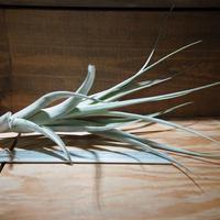 チランジア / アルビダ × インターメディア (T.albida × T.intermedia) *A01/Apr10