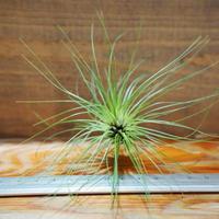 チランジア / フィリフォリア (T.filifolia) *A01/Jul05