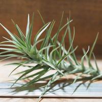 チランジア / テヌイフォリア オープンフォーム (T.tenuifolia 'Open Form') *A01/Aug22