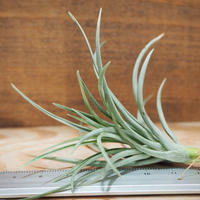 チランジア / テヌイフォリア ブロンズチップ (T.tenuifolia 'Bronze Tip') *A01/Aug10