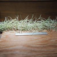 チランジア / ウスネオイデス 太葉 (T.usneoides) *A01/Jun22-01