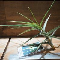 チランジア / メレリアナ (T.mereliana) *A01/Jul07