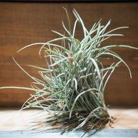 チランジア / クロカータ トリスティス (T.crocata var. tristis) *A01/Dec13