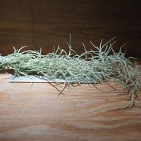 チランジア / ウスネオイデス 太葉 (T.usneoides) *A01/Nov26-02