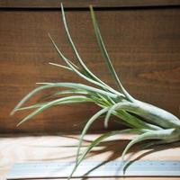 チランジア / パウシフォリア レッドハイブリッド (T.paucifolia 'Red Hybrid') *A01/Jun22