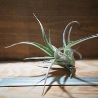 チランジア / カルウィンスキアナ (T.karwinskyana) *A01/Apr17