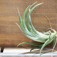 チランジア / パウシフォリア (T.paucifolia) *A01/Aug16