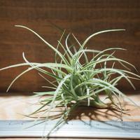 チランジア / マクブリデアナ × パレアセア (T.macbrideana × T.paleacea) *A01/Mar06