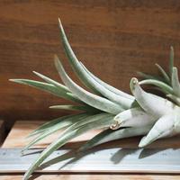 チランジア / チアペンシス × ミトラエンシス (T.chiapensis × T.mitlaensis) *A01/Oct02
