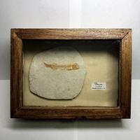 アンティーク風のリコプテラ化石標本