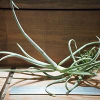 チランジア / デュラティ M (T.duratii) *A01/Apr15