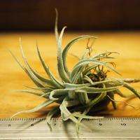 チランジア / スークレイ (T.sucrei) *A02/Au03-01