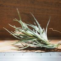 チランジア / クロカータ トリスティス (T.crocata var. tristis) *A01/May28