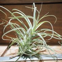 チランジア / ストラミネア ブッシュ L (T.straminea 'Bush') *A01/May08