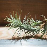 チランジア / フンキアナ S (T.funkiana) *A01/Feb23