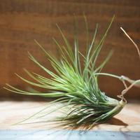 チランジア / アンドレアナ × フンキアナ (T.andreana × T.funkiana) *A01/Jul11