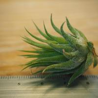 チランジア / イオナンタ ヘーゼルナッツ (T.ionantha 'Hezel Nut') *A02/Oct22