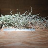 チランジア / ウスネオイデス 太葉 (T.usneoides) *A01/Dec22-02