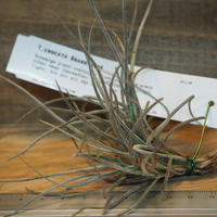 チランジア / クロカータ ブランディワイン (T.crocata 'Brandywine') *A01/Dec18