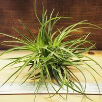 チランジア / ストリクタ グリーン CL (T.stricta 'Green') *A02/J263