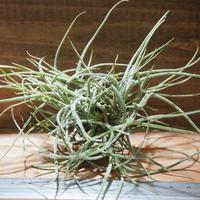 チランジア / レクルバータ (T.recurvata) *A01/Apr19