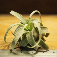 チランジア / ストレプトフィラ S (T.streptophylla) *A02/Se29