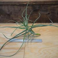 チランジア / アリザ (T.arhiza) *A02/J02