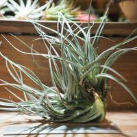チランジア / レクルヴィフォリア × ガルドネリー (T.recurvifolia × T.gardneri) *A01/Nov30
