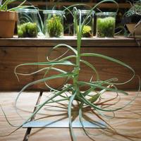 チランジア / アリザ (T.arhiza) *A01/Aug01