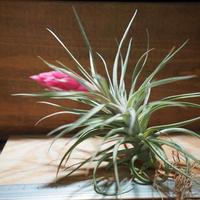 チランジア / アエラントス パープルジャイアント (T.aeranthos 'Purple Giant') *A01/Mar20