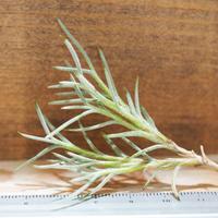 チランジア / カピラリス T-Type S (T.capillaris) *A01/Aug27