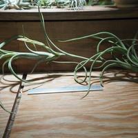 チランジア / インターメディア ヴィヴィパラ (T.intermedia) *A01/Feb28